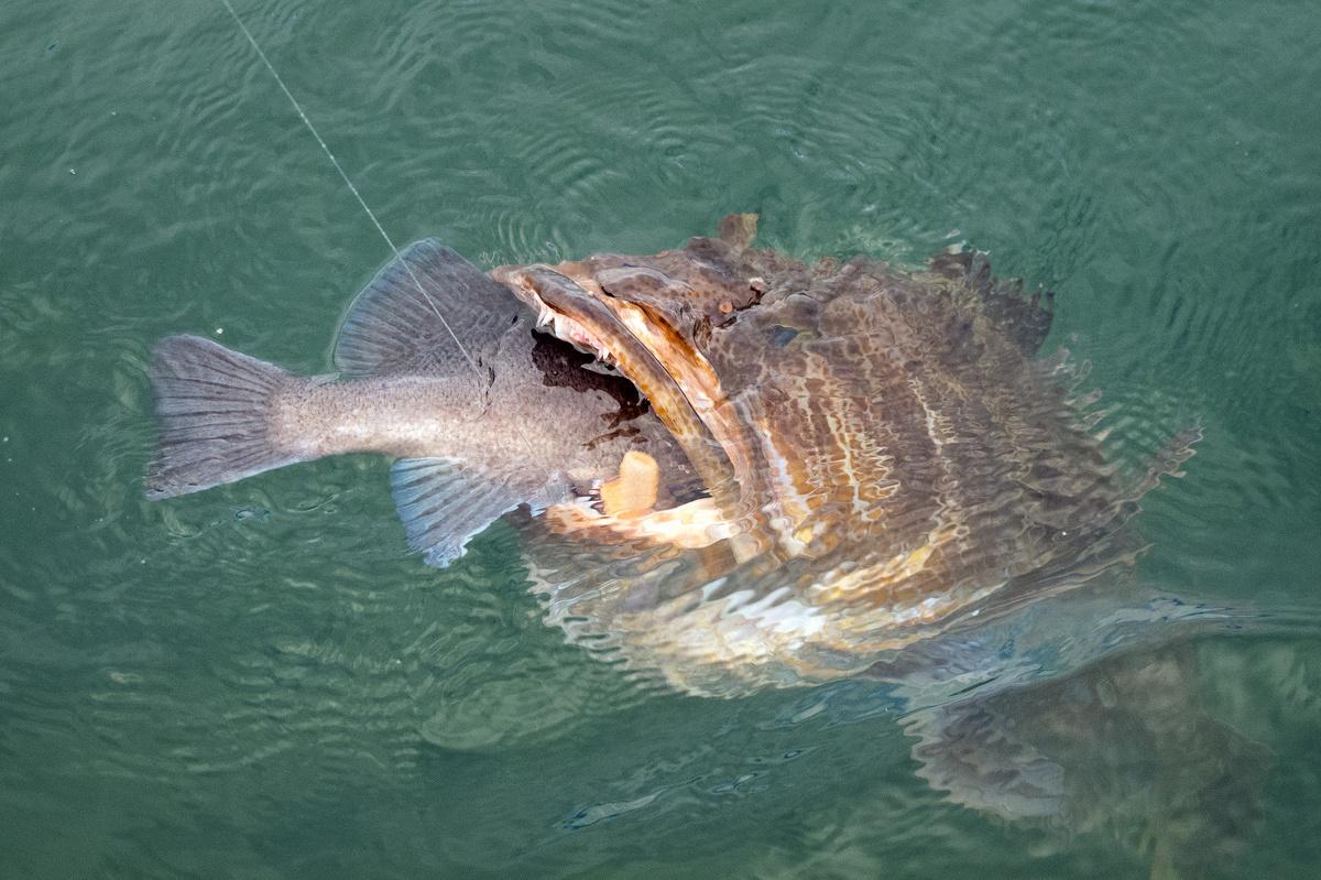 Image gallery lingcod for Alaska fish species